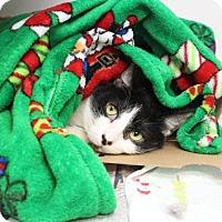 Domestic Shorthair Cat for adoption in Largo, Florida - Bella