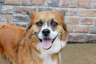 Tibetan Spaniel Mix Dog for adoption in Lexington, Kentucky - Jackie