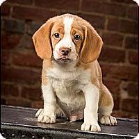 Adopt A Pet :: Chubby Pugsley - Owensboro, KY