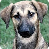 Adopt A Pet :: SISSY - Hendersonville, TN