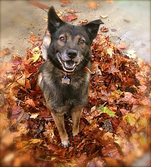 Keeshond/Shepherd (Unknown Type) Mix Dog for adoption in Los Angeles, California - Handsome Ziggy
