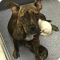 Adopt A Pet :: Katie - Marlton, NJ