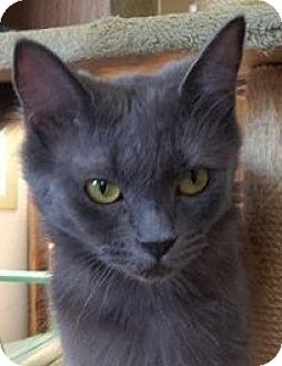 Domestic Longhair Cat for adoption in Springfield, Vermont - Mona