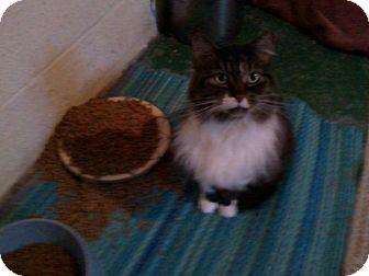 Maine Coon Cat for adoption in Delmont, Pennsylvania - Mitzi