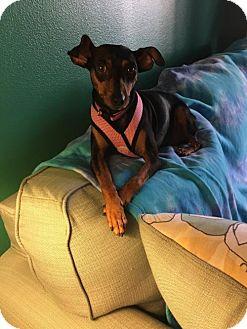 Miniature Pinscher Mix Dog for adoption in West Palm Beach, Florida - Cali