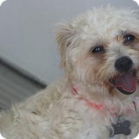Adopt A Pet :: April Rose - Woonsocket, RI