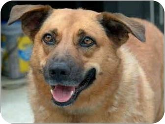 German Shepherd Dog/Hound (Unknown Type) Mix Dog for adoption in Garland, Texas - Hailey