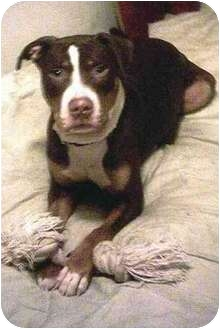 Rottweiler/Bullmastiff Mix Dog for adoption in Forest Hills, New York - Donald