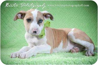 Catahoula Leopard Dog/English Bulldog Mix Puppy for adoption in Callahan, Florida - Cypress