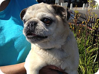 Pug Dog for adoption in Van Nuys, California - BABY