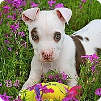 Adopt A Pet :: Baby Bonnie - Flowery Branch, GA