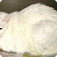 Domestic Mediumhair Cat for adoption in Columbus, Ohio - Diamond