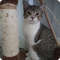 American Shorthair Cat for adoption in Odessa, Texas - Wild man