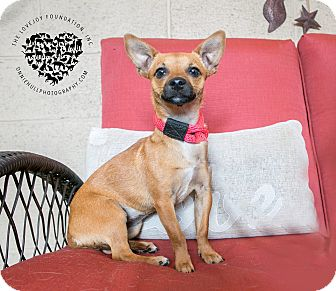 Chihuahua/Terrier (Unknown Type, Small) Mix Dog for adoption in Inglewood, California - Roo