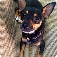 Adopt A Pet :: Storm - Santa Monica, CA