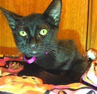 Domestic Shorthair Cat for adoption in Tyler, Texas - A-Teddy
