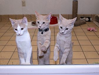 Domestic Shorthair Cat for adoption in Lumberton, North Carolina - Baby Girl's Kittens