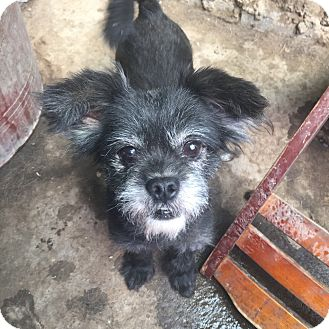 Terrier (Unknown Type, Small) Mix Dog for adoption in Oakton, Virginia - Blackie - Adoption Pending