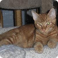 Domestic Shorthair Kitten for adoption in Trenton, New Jersey - Benjamin