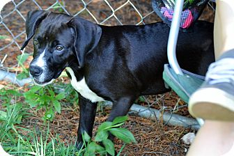 Labrador Retriever/Hound (Unknown Type) Mix Puppy for adoption in Albemarle, North Carolina - Michonne