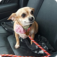 Adopt A Pet :: Cupcake - Rockaway, NJ