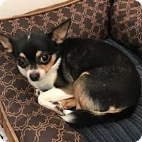 Adopt A Pet :: Diva - Avon, NY