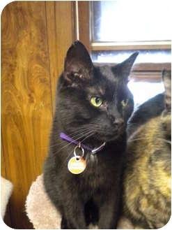 Domestic Shorthair Cat for adoption in Cleveland, Ohio - Dakota