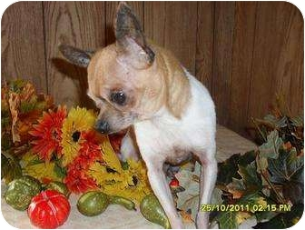 Chihuahua Dog for adoption in Chandlersville, Ohio - Bunky