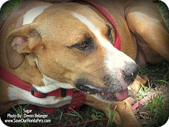 Black Mouth Cur/American Bulldog Mix Dog for adoption in Eustis, Florida - Sugar