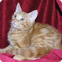Domestic Shorthair Cat for adoption in Miami, Florida - Richie