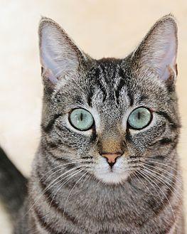 Domestic Shorthair Cat for adoption in Los Angeles, California - Sadie