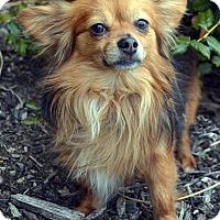 Adopt A Pet :: Chi Chi - Bridgeton, MO