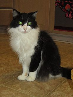 Domestic Longhair Cat for adoption in Toledo, Ohio - Aiden