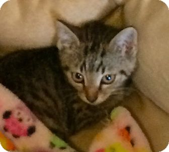 Domestic Shorthair Kitten for adoption in Greensburg, Pennsylvania - Georgie