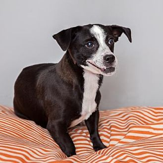 Jack Russell Terrier Mix Dog for adoption in Mission Hills, California - Lil Bella