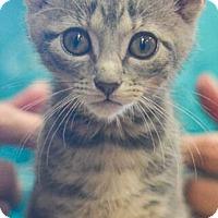 Adopt A Pet :: Ellie - Reston, VA