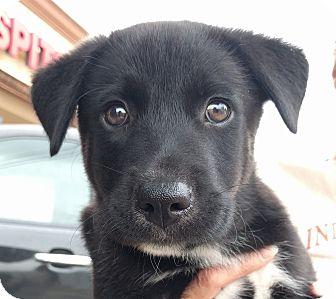 Border Collie/German Shepherd Dog Mix Puppy for adoption in Houston, Texas - Comet