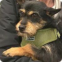 Schnauzer (Miniature)/Cairn Terrier Mix Dog for adoption in Boulder, Colorado - Zak-ADOPTION PENDING