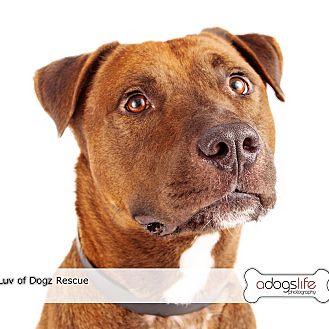 "Labrador Retriever/American Staffordshire Terrier Mix Dog for adoption in Scottsdale, Arizona - Teddy Bear ""I RUV YOU"""