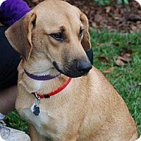 Adopt A Pet :: Soda Pop - Harrisburgh, PA