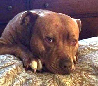 American Pit Bull Terrier Dog for adoption in Fredericksburg, Virginia - Max- Courtesy Listing