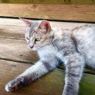 Domestic Shorthair Cat for adoption in Delmont, Pennsylvania - Erica's Girl