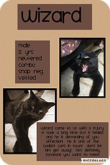 Domestic Shorthair Cat for adoption in CLEVELAND, Ohio - Wizard