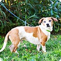 Adopt A Pet :: Chaparro - Houston, TX