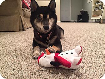 Shiba Inu Dog for adoption in Manassas, Virginia - Mako