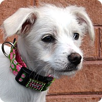 Adopt A Pet :: Paisley-ADOPTION PENDING - Bridgeton, MO