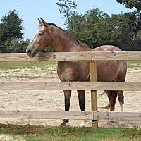 Appaloosa Mix for adoption in Cantonment, Florida - Champagne