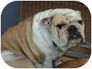 English Bulldog Dog for adoption in San Diego, California - Lottie