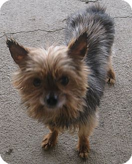 Yorkie, Yorkshire Terrier Dog for adoption in Prole, Iowa - Ryder