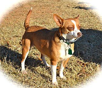 Chihuahua Dog for adoption in Blanchard, Oklahoma - Chiquita